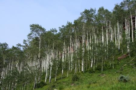 Beautiful Apen Trees In Colorado photo