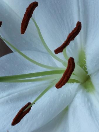 white: White lily