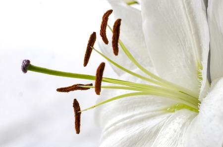 lirio blanco: El lirio blanco