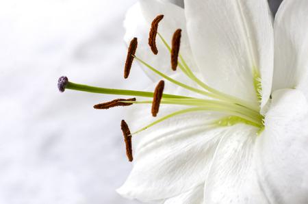 white lily: El lirio blanco