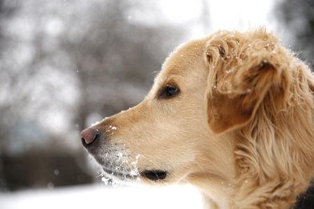 falling snow: golden retriever met vallende sneeuw Stockfoto