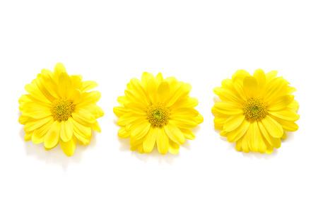 Yellow Chrysanthemum on white background Imagens