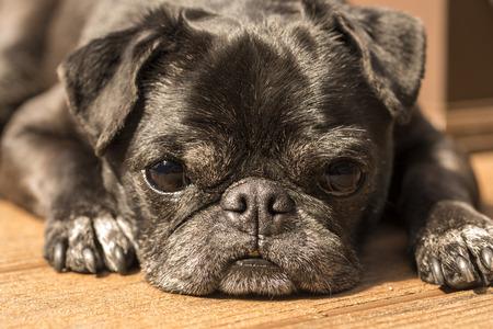 black pug: Black Pug on the wood deck Stock Photo