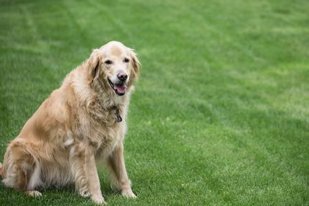 cut grass: Happy Golden Retriever sitting on the freshly cut grass