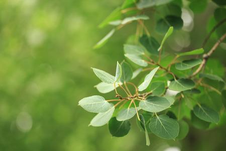 aspen leaf: Green Aspen Leaves Stock Photo