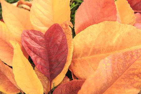 shaped: Heart shaped leaf Stock Photo