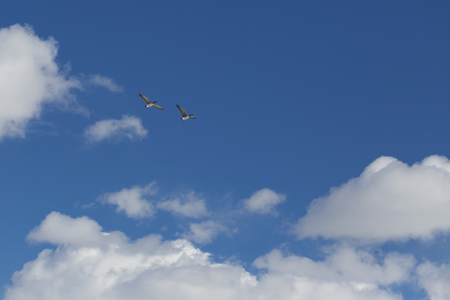 canadian geese: Canadian geese flying against blue sky