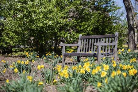 empty bench: Empty bench with Daffodils at the park in spring Stock Photo