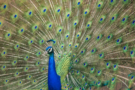 Blue Peafowl showing his feathers