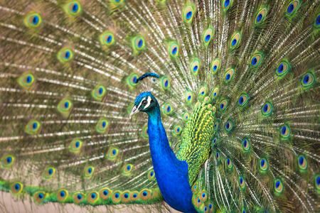 blue peafowl: Blue Peafowl showing his feathers