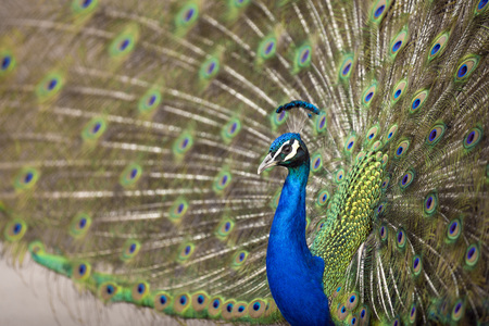 peafowl: Blue Peafowl showing his feathers