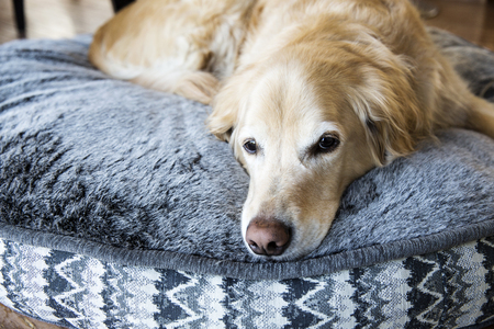 Golden Retriever resting on his dog bed Stock Photo