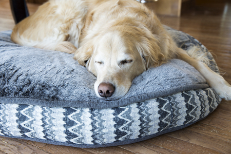 Male Golden Retriever sleeping on his dog bed Stock Photo