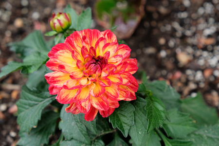 Single multi-colored Dahlia