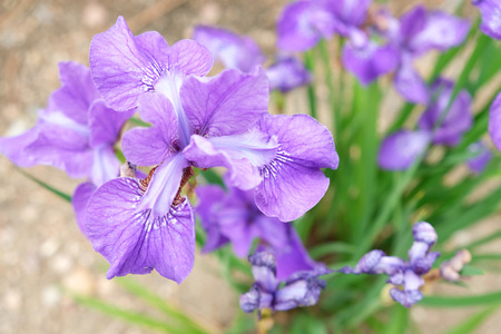 Purple Iris in full bloom Stock Photo