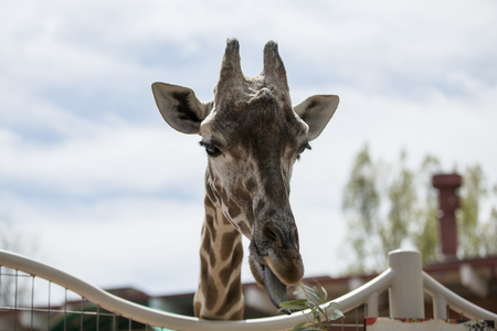 Giraffe eating the plant Stock Photo
