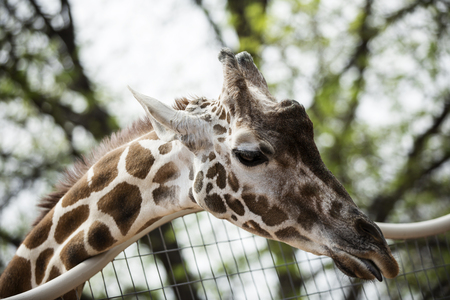 Close-up of the Giraffe Stock Photo