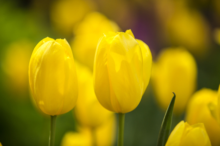Yellow Tulips in full bloom Stock Photo