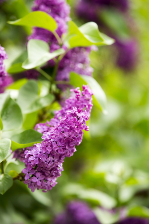 Lilac in full bloom Stock Photo