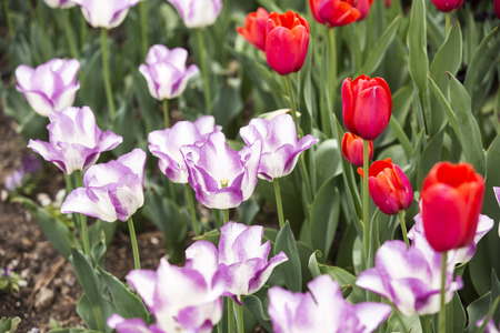 Colorful Tulips in the spring Stock Photo