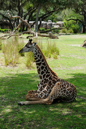 Baby Giraffe sitiing on the grass Stock Photo