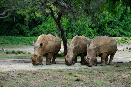 Three Rhinoceros eating