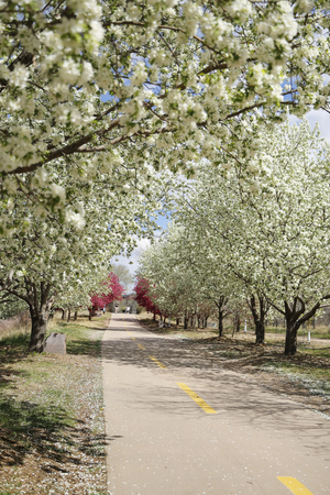 Crabapple flower in full bloom along the bike path Stock Photo