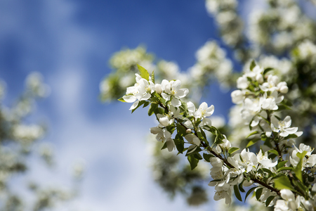 Crabapple blossom against blue sky Stock Photo