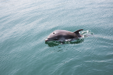 Single dolphin swimming Stock Photo - 115211262