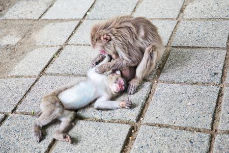 Wild Japanese monkey in Beppu, Japan