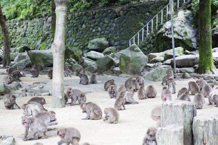 Group of wild Japanese monkey
