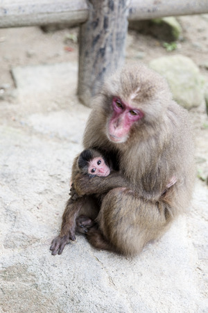 Mother and baby Japanese monkey