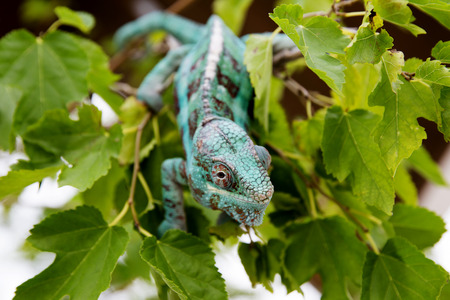 Cameleon hanging from tree branch Stock Photo - 115211266