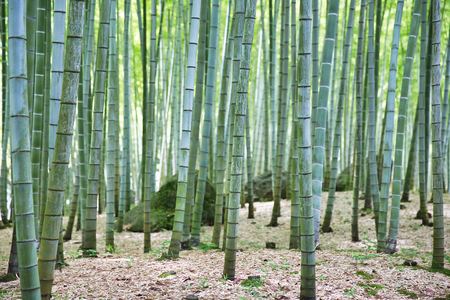 Bamboo forest in Japanese park