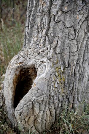 large tree hollow Stock Photo
