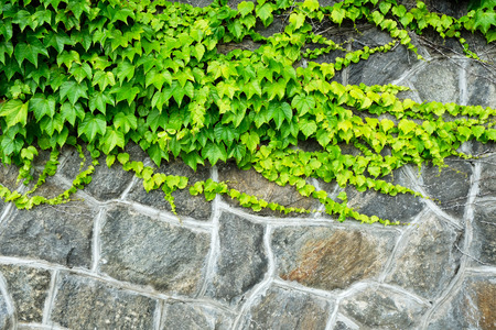 Boston Ivy covering rock wall Imagens