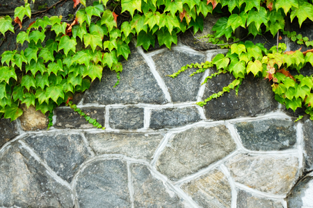 Boston Ivy covering rock wall Stock Photo