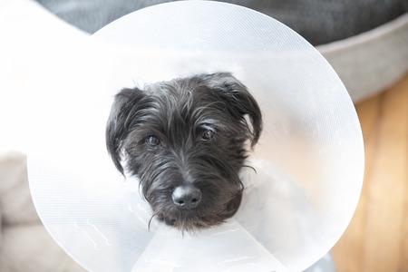 Miniature Schnauzer puppy wearing an e-collar