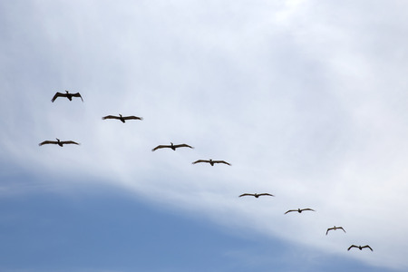 A flock of Pelicans flying against blue sky Stock Photo