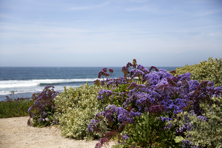 Spring flower in full bloom at La Jolla in San Diego