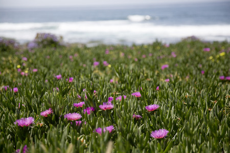 Spring flower in full bloom at La Jolla in San Diego