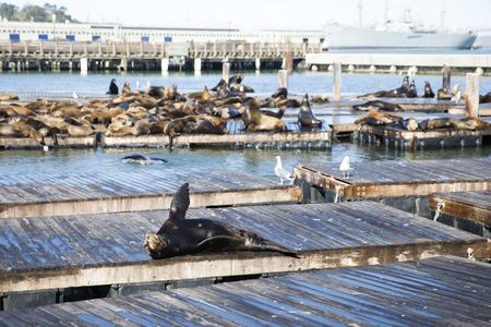 Sea Lions at Pier 39 in San Francisco, California Stock Photo