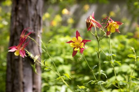 Red Columbine in full bloom