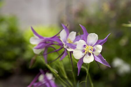 Violet Columbine in full Bloom