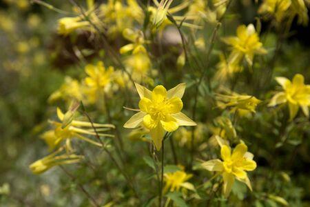 Yellow Columbine in full bloom Stock Photo