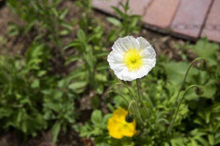 White poppy in full bloom Stock Photo