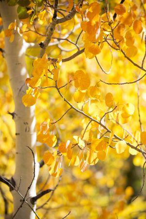 close-up of a cloroful Aspen Tree