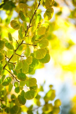 Close-up of colorful Aspen Tree Stock Photo