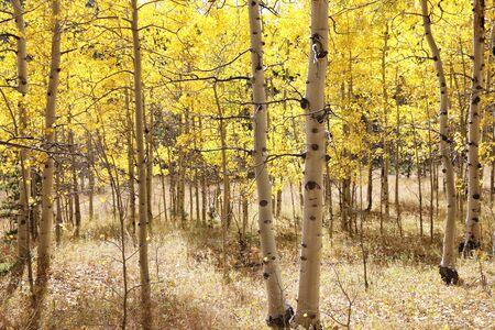 Beautiful Aspen Trees in fall
