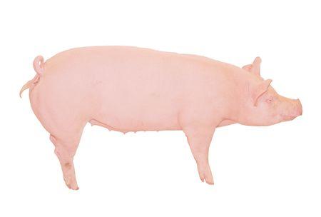 pig farm: Big Pink Pig Cutout Stock Photo